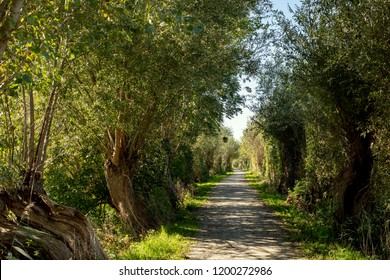 Pedestrian romantic pathway with rows of pollard willows, two sides of a lane with old pollarded willows, winding road, willow lane.