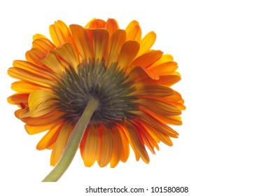 Pedicel or Rear View of Orange Gerbera Daisy isolated on white