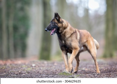 Pedigree Belgian Malinois Shepherd dog outdoors in the forest on a sunny spring day.