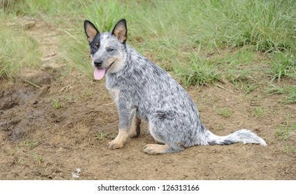 pedigree  Blue heeler puppy. Australian cattle dogs  also known as blue heelers