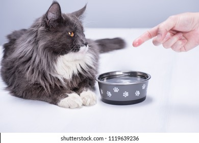 A pedigree cat with beautiful yellow eyes, lies on a white floor, at a bowl full of pure water, a man's hand shows the cat that the bowl is filled with water.