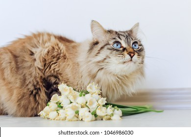 A pedigree cat sits near white spring flowers and looks up