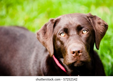 Pedigree dark labrador on fresh green grass.