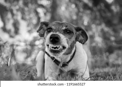 Pedigree dog fox terrier is angry, danger, black and white photo