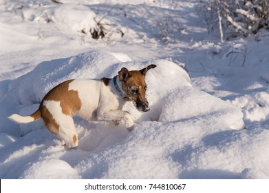 Pedigree dog fox terrier in a snowdrift, winter hunting