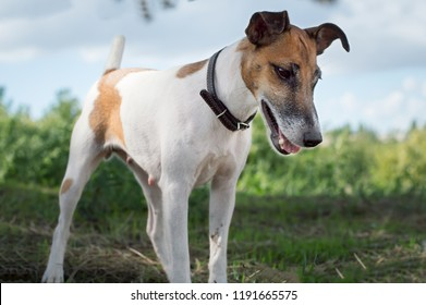 Pedigree dog, fox terrier for a walk outdoors