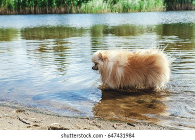 Pedigree dogs Pomeranian is all paws in the water of the river a sunny summer day