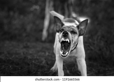A pedigree fox terrier dog teeth, an angry dog, black and white photo