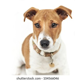 Pedigree Jack Russell Terrier dog
