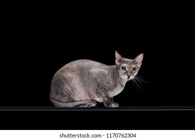 pedigreed domestic grey sphynx cat looking at camera isolated on black