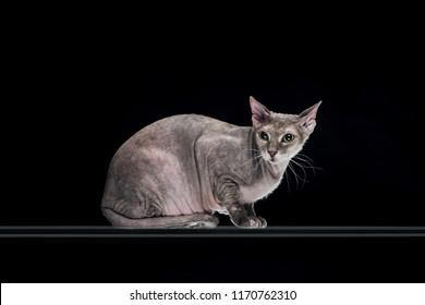 pedigreed grey sphynx cat sitting isolated on black
