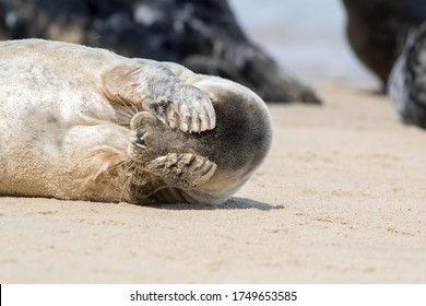 Peekaboo. Cute seal covering its eyes. Funny animal meme image of a seal waking up with a headache the morning after the night before. Stressed seal from the Horsey colony UK unable to face the world.