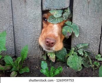 Peek-a-boo dog. Cute Dog That Put Their Nose Through Hole in Fence