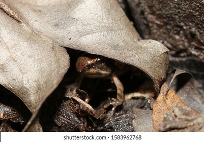 Peek-a-boo frog:  A small wood frog (Rana sylvatica or Lithobates sylvaticus) remains hidden under a small brown leaf to avoid predators, with just its face and forelimb emerging from the shadows.