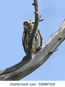 Peekaboo! Peering Little Owl