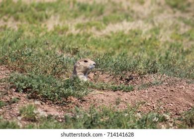 peeking prairie dog
