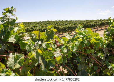 Peeking through leaves into a lush scenic vineyard
