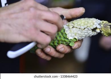 to peel Monstera deliciousa fruit