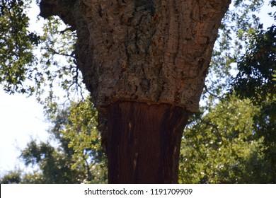 peeled quercus suber after harvest, cork oak or quercus suber in sardinia in mediterranean