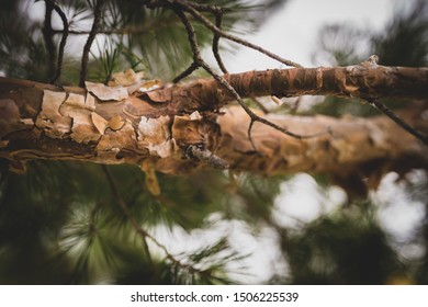 Peeling bark on a horizontal branch of a scotch pine evergreen tree surrounded by green fir needles in the forest
