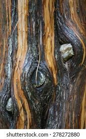 Peeling bark of pine tree, soaking wet with rain water