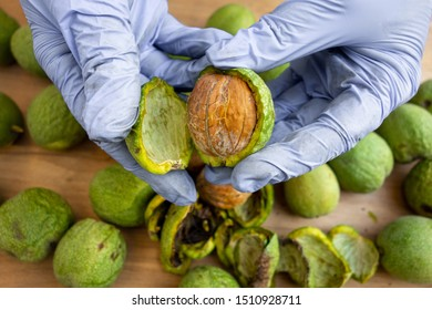 Peeling of walnuts. Hands in gloves peel a green rind or cover of nuts. Seasonal autumn harvest processing preparation of organic food before storage