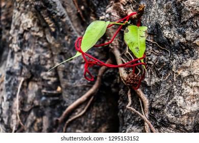 peepal leaf sacred fig leaf hindu religion rudraksh