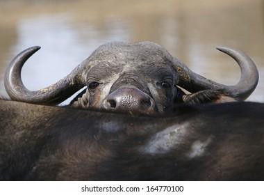 Peeping Cape Buffalo Cow