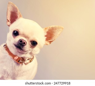 peeping out funny chihuahua dog in collar