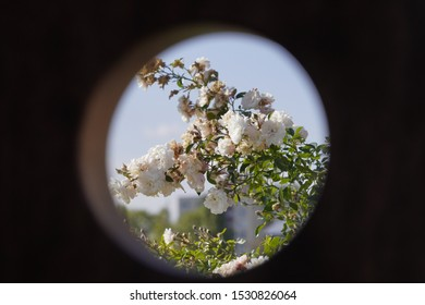 peeping through the hole, a Bush of white fading rose in the frame. change of seasons, autumn view