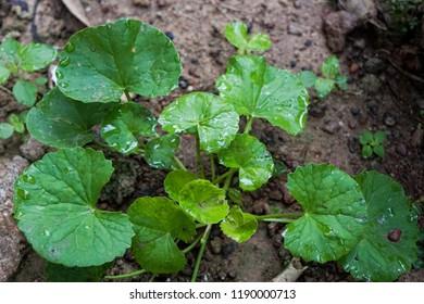 Pegaga leaf or centella asiatica. Can make drink or ulam. for healthy