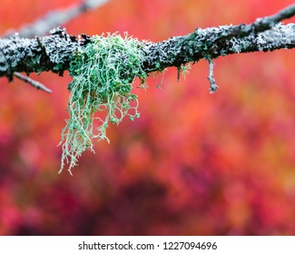 a peice of green lichen on a branch of a pine tree with flamming red background of blueberry bushes
