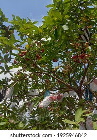 Pekanbaru, Indonesia, February 28, 2021, water guava fruit covered with colorful plastic