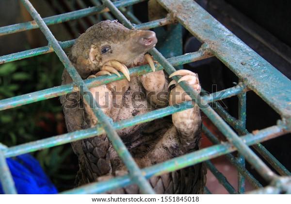 Pekanbaru, Riau, Indonesia. 25 November 2017: 101 smuggled pangolins were secured at the Riau Natural Resources Conservation Agency.