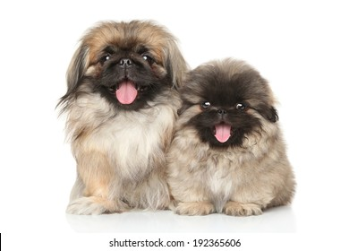 Pekinese dog with puppy on a white background