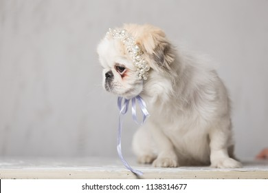 Pekinese pale color