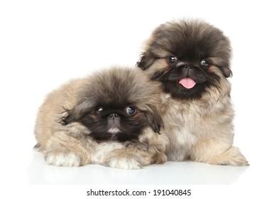 Pekinese puppies posing in studio. Close-up portrait on white background