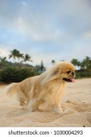 Pekingese dog outdoor portrait on beach