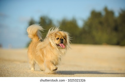 Pekingese dog outdoor portrait walking on sand beach