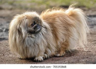 A pekingese dog portrait. Close-up shot.