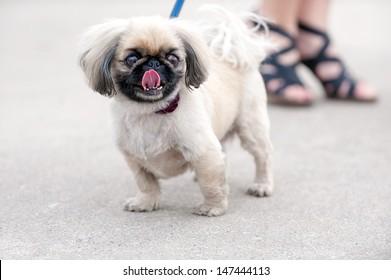 Pekingese dog standing next to women's legs on city street