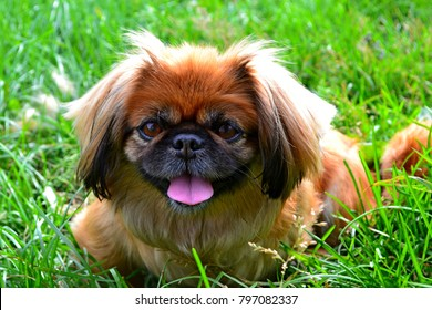 Pekingese dog tongue out in green grass. Portrait happy pekingese dog lying in grass on summer walk. Red pekingese resting in field & enjoying of sun rays. Fluffy hairy small dog playing closeup