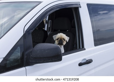Pekingese in the driver's seat, behind the wheel