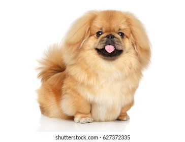 Pekingese happy dog posing on white background