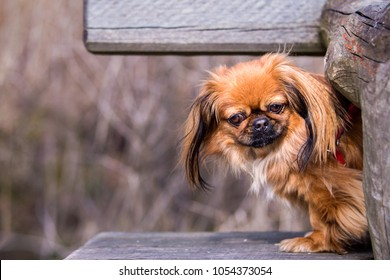 The Pekingese, also known as the Lion Dog, Peking Lion Dog, Pelchie Dog, or Peke is an ancient breed of toy dog, originating in China.