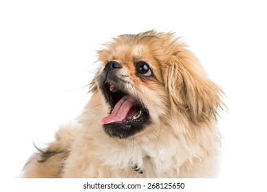 Pekingese portrait on a white background