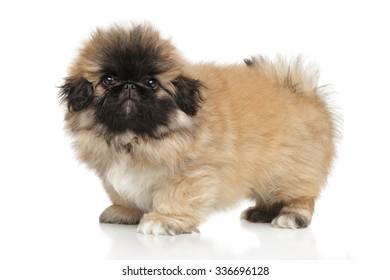 Pekingese puppy against white background