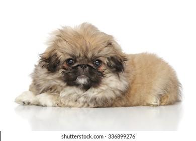 Pekingese puppy lying on white background