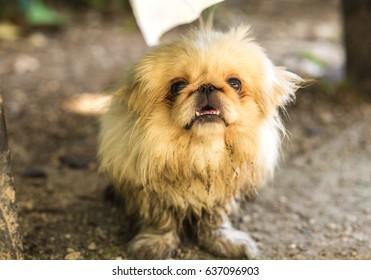 Pekingese small dog outside.
