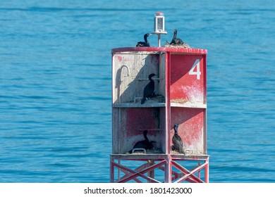 Pelagic Cormorants nesting in number 4 buoy in Rosario Strait, Washington, United States